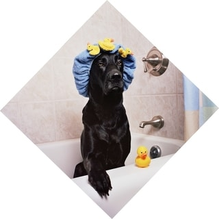 Black Lab in Bath