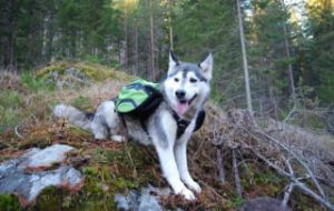 Husky Wearing Pettom Dog Saddle Backpack
