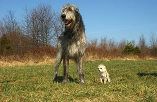 Best Collars for Large Dogs - Irish Wolfhound