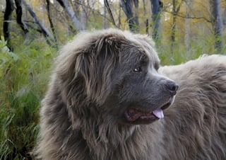 Newfoundland Dog with Brown Coat