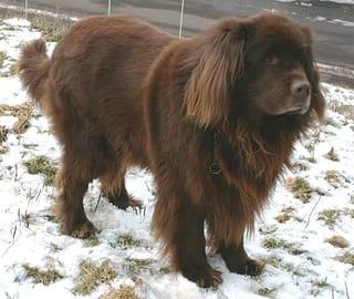 Newfoundland Dog Standing