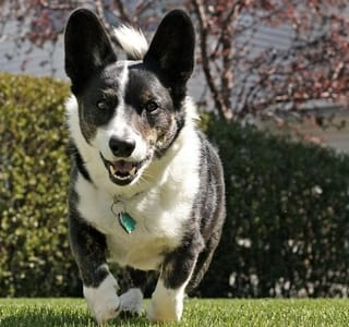 Cardigan Welsh Corgi Dog gets Along with Cats
