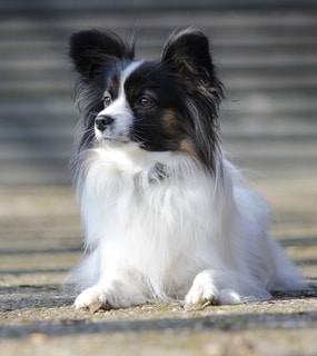 Papillon Dog Good with Cats