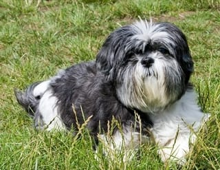 Shih Tzu Dog Good with Cats
